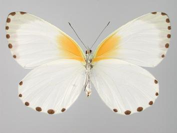 Mylothris poppea